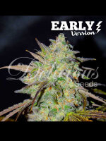 Delicious Seeds - Marmalate Early V Feminised Cannabis Seeds