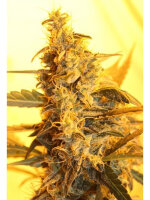 Dispensario Seeds - Auto Pain No More Feminised Autoflowering Cannabis Seeds