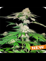 Dispensario Seeds - Big Crack Tsunami Feminised Cannabis Seeds