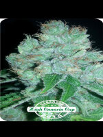 Dispensario Seeds - Eter Express Feminised Cannabis Seeds