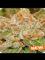 Dispensario Seeds - Island Eisbaer Feminised Cannabis Seeds
