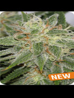 Dispensario Seeds - Island Grapefruit Punch Feminised Cannabis Seeds