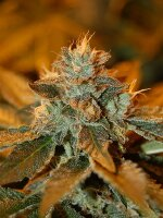 DNA Genetics - Cataract Kush Regular Cannabis Seeds