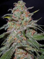 DNA Genetics - Lemon Skunk Feminised Cannabis Seeds