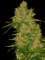 Dready Seeds - Blue BubbleBerry Feminised Cannabis Seeds