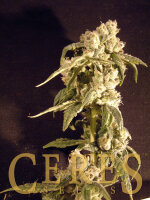 Ceres Seeds - Easy Rider Automatic Feminised Cannabis Seeds