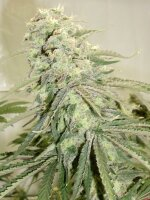 Hazeman Seeds - Elephant Stomper Regular Cannabis Seeds