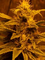 Hazeman Seeds - Escaped Regular Cannabis Seeds