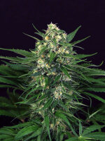 Exotic Seeds - Exotic Tai Feminised Cannabis Seeds