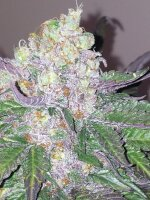 Devil's Harvest Seeds - Fallen Angel Feminised Cannabis Seeds