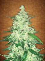 Fast Buds Seeds - CBD Crack Feminised Autoflowering Cannabis Seeds