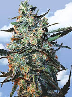 Flying Dutchmen - Female Mix Feminised Cannabis Seeds