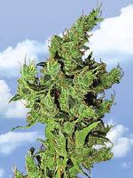 Flying Dutchmen - Amsterdam Mist Feminised Cannabis Seeds