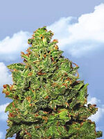 Flying Dutchmen - Edelweiss Feminised Cannabis Seeds