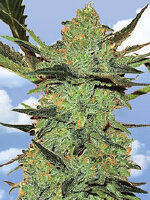 Flying Dutchmen - G-Force Feminised Cannabis Seeds