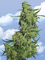 Flying Dutchmen - Nepal Kush Feminised Cannabis Seeds
