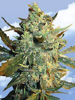 Flying Dutchmen - Power Skunk Feminised Cannabis Seeds