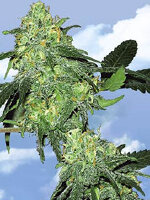 Flying Dutchmen - Skunk Classic Feminised Cannabis Seeds