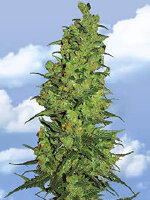Flying Dutchmen - Temple Haze Feminised Cannabis Seeds