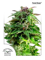 Dutch Passion - Forest Dream Feminised Cannabis Seeds