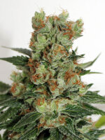 Ripper Seeds - Fuel OG Feminised Cannabis Seeds