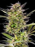 G13 Labs - Auto Blueberry Feminised Cannabis Seeds