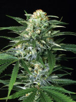 Exotic Seeds - Gipsy Widow Feminised Cannabis Seeds