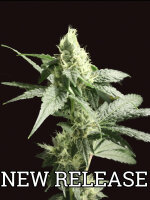 Devil's Harvest Seeds - Golden Haze Feminised Cannabis Seeds