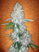 Fast Buds Seeds - Gorilla Glue Feminised Autoflowering Cannabis Seeds