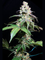 TGA Subcool Seeds - Grape Inferno Regular Cannabis Seeds