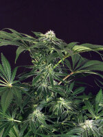 Exotic Seeds - Green Gummy Feminised Cannabis Seeds