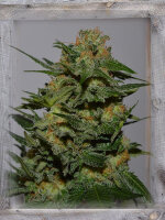 Garden of Green - Green Crack Feminised Cannabis Seeds