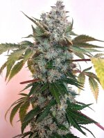 Holy Smoke Seeds - Guide Dawg 6 Feminised Cannabis Seeds