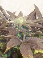 Hazeman Seeds - P.O.W Regular Cannabis Seeds