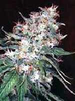 Homegrown Fantaseeds - Original Misty Regular Cannabis Seeds