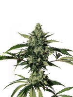 Medical Marijuana Genetics - Hiydrow Feminised Cannabis Seeds