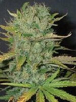 Homegrown Fantaseeds - Afghani Feminised Cannabis Seeds