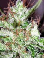 Homegrown Fantaseeds - SPR Haze Feminised Cannabis Seeds