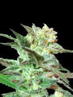 DNA Genetics - Limited Edition Honey Boo Boo Regular Cannabis Seeds