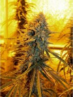 Horti Lab Seeds - Sour Amnesia Regular Cannabis Seeds