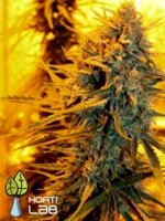 Horti Lab Seeds - Sour Star Regular Cannabis Seeds