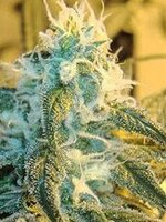 Horti Lab Seeds - Sour Pink Grapefruit Regular Cannabis Seeds