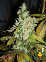 Horti Lab Seeds - Sweet Pink Grapefruit Feminised Cannabis Seeds