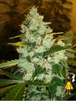 Horti Lab Seeds - Super Sour Skunk Regular Cannabis Seeds
