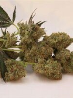 Horti Lab Seeds - StarBud Feminised Cannabis Seeds