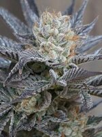 Horti Lab Seeds - Starbud Sister Feminised Cannabis Seeds