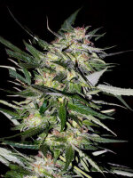 Advanced Seeds - Feminised Collection #4 Feminised Cannabis Seeds