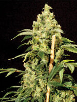 Bulldog Seeds - Jack Herer Feminised Cannabis Seeds