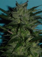 Jordan of the Islands - BC Big Bud Regular Cannabis Seeds