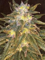 Jordan of the Islands - Sapphire Star Regular Cannabis Seeds